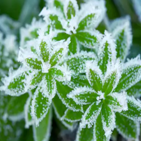 frost_282