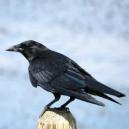 crow_282