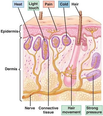skin_nerves