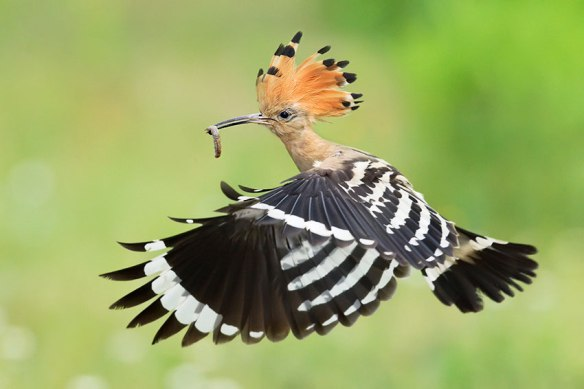 Birds-in-the-Quran-The-Hoopoe